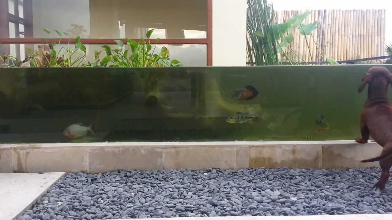 Tropical monster fish pond youtube for Aquarium fish for pond