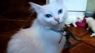 Котенок с разными глазами рожденный 25 декабря