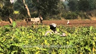 Agriculture: Livelihood of rural Settlers in Uttar Pradesh, India