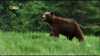 Nat Geo WILD. Человек против животного.  Лучший медведь