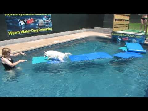 Miniature American Eskimo Dog Nikki jumps off dock onto pool floats & walks on water  51313