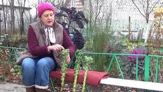 видео Выращивание брюссельской капусты