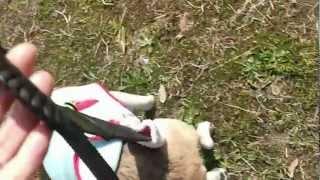 シニア犬のナックリング歩行
