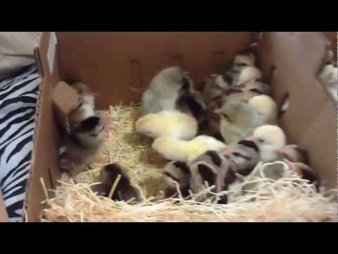 day-old-baby-chicks