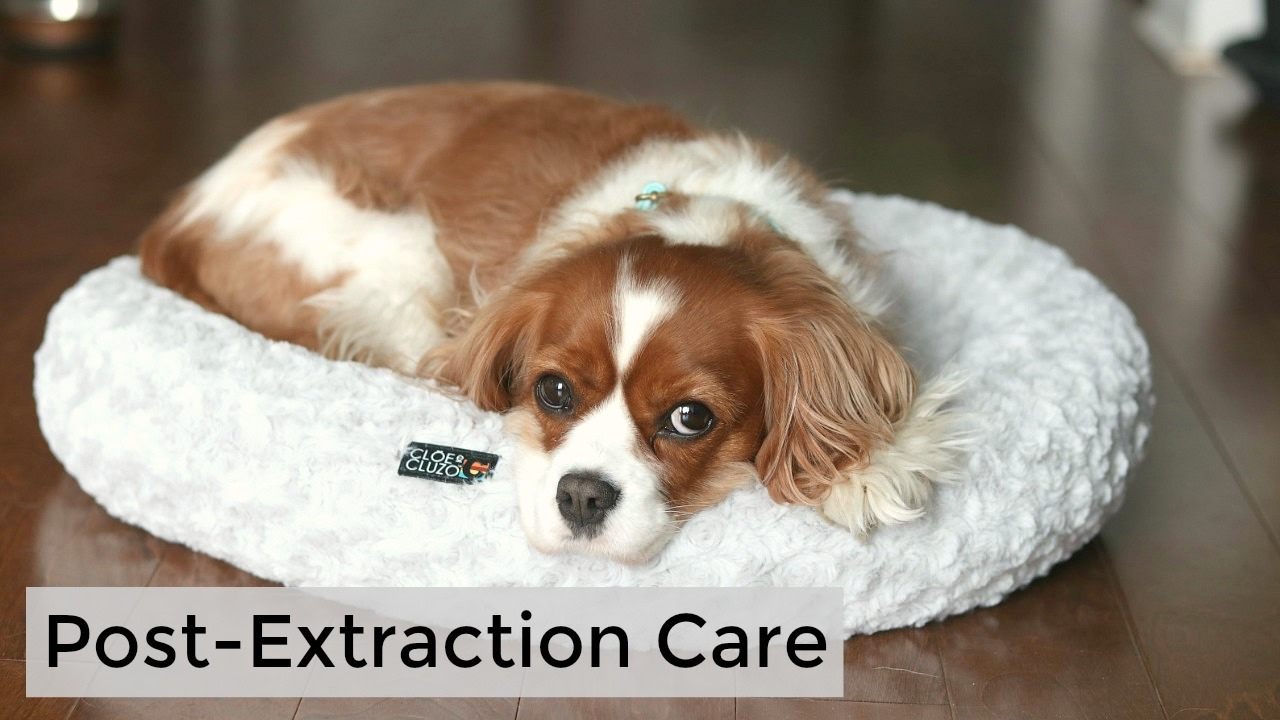 Post Extraction Care Tips After Tooth Operation For Dogs Herky
