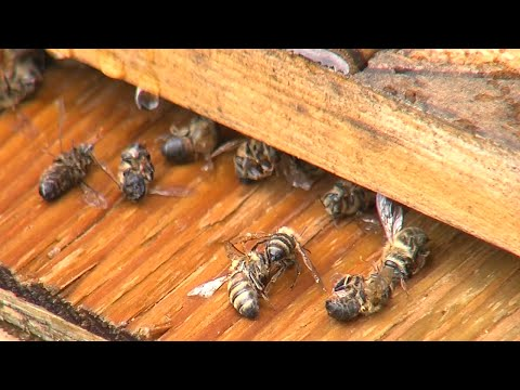 Thousands Of Bees Killed By Mosquito Fogger Doovi