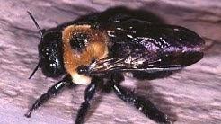 Carpenter Bees In Sea Girt NJ 732-504-3758 Ozane.com