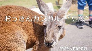 """神戸どうぶつ王国の""""おっさんカンガルー""""の豆蔵を見てきました。起きて..."""