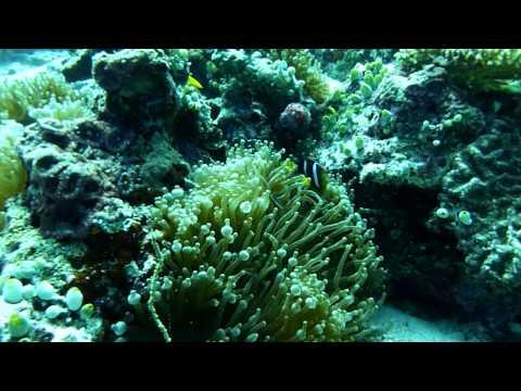 "Diving Maldives (Faafu Atoll) ""Sea Wildlife & Anemonefish 1"""