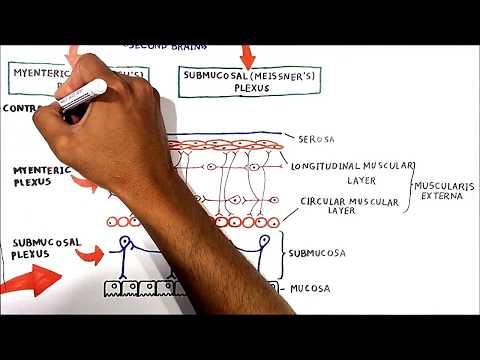 The enteric nervous system (USMLE step1)