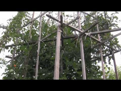 japanese tomato plant