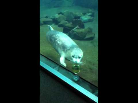 seal harbor personals The harbor seal's diet consists mainly of fish, shellfish, and crustaceans harbor seals complete both shallow and deep dives while hunting depending on the availability of prey they can sleep underwater and come up for air once every 30 minutes.