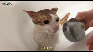 고양이 만식아재 목욕시…