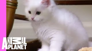 Manx Charlie and His Tail Learn to Fit in | Too Cute!