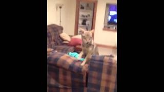 Pet coyote howling