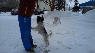 Woof 🐩 Doggy 🐶 Berger de Brie 🐕 Fun ☃ Snow ⛄ Dog 💦 Berger Briard 🐑 Herding Dog