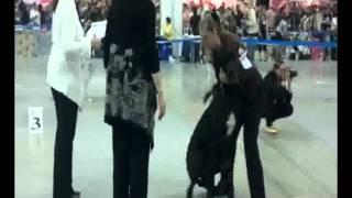 Дог кусает девочку.avi(Интернациональная Выставка Собак