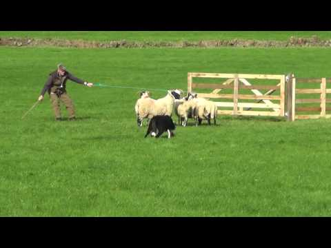 Irish National Sheepdog Trials 2016 JP McGee's Glencregg Silver(Jnr)