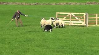 Irish National Sheepdog Trials 2016 JP McGee's Glencregg Silver(Jnr)