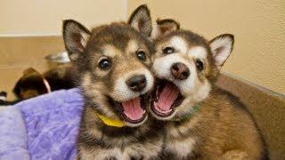 Cute Malamute Husky Mix Puppies At Best Friends
