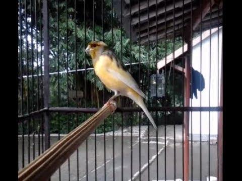 Download Lagu Kenari AF Gacor Satu Titik..