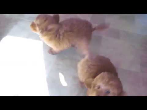 Red miniature poodle puppies