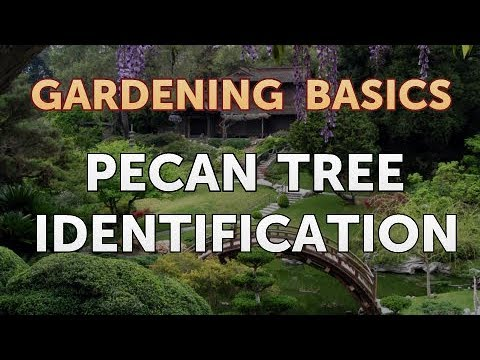 Pecan Tree Identification