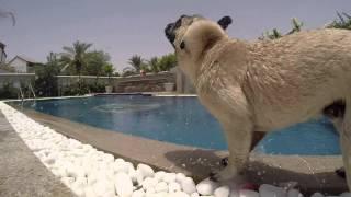 Surfing UAE  -  a special pug in Dubai