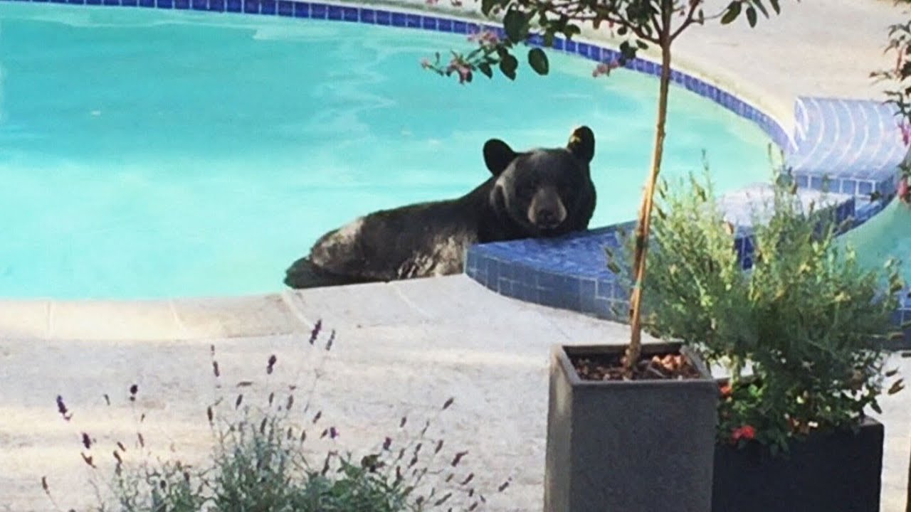 Jacuzzi In The Pool Bear Lounges In Pool Moves To Hot Tub In Vancouver Yard