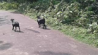 Goat xxx