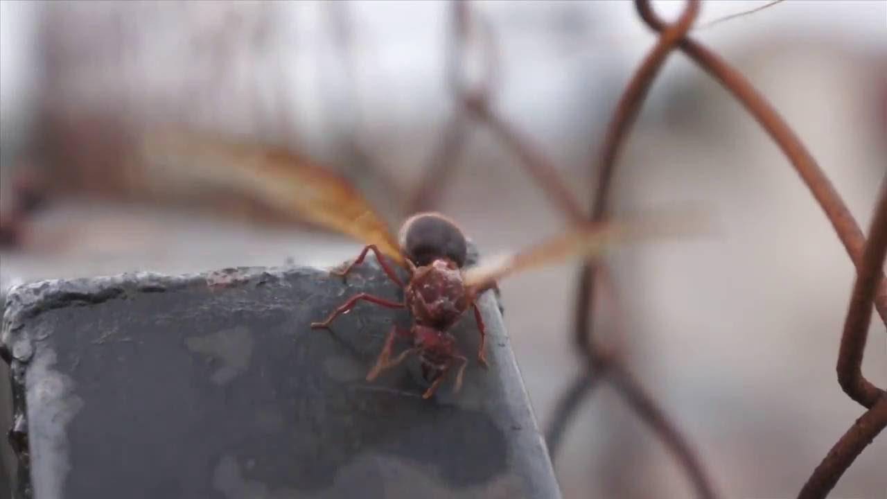 Sompopo Ants Www Miifotos Com