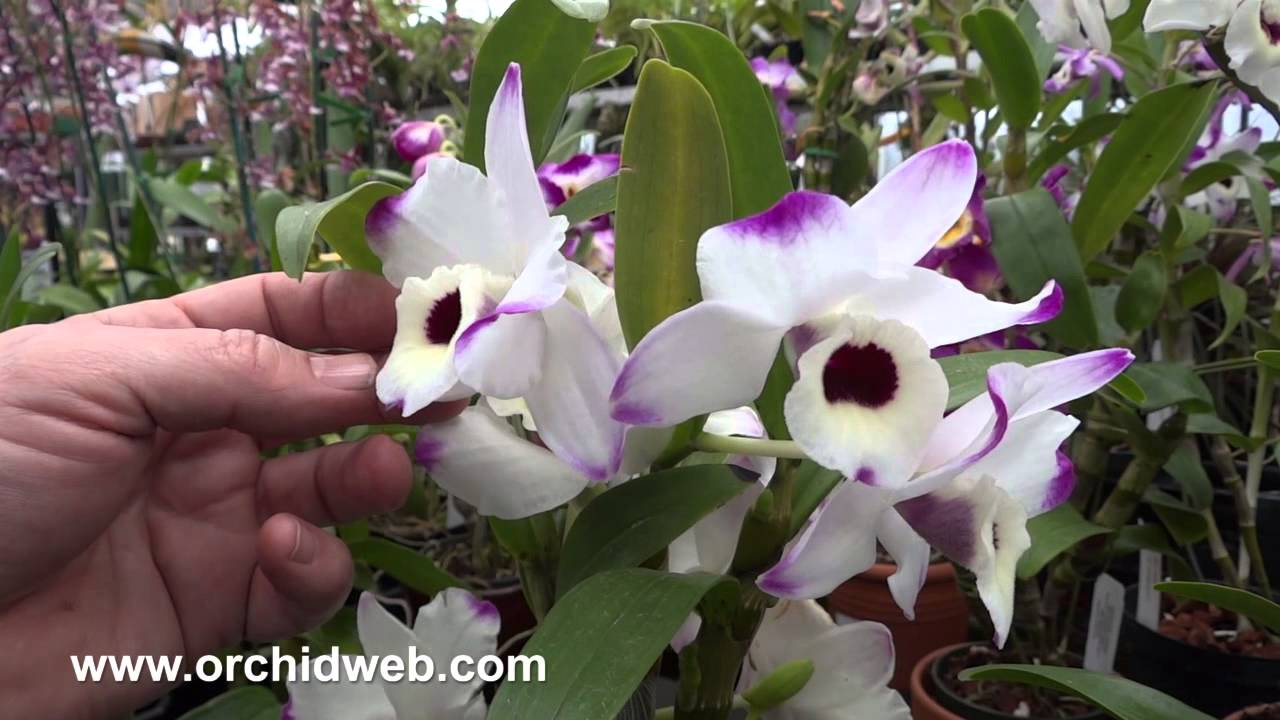 orchidweb dendrobium nobile orchid hybrid youtube. Black Bedroom Furniture Sets. Home Design Ideas