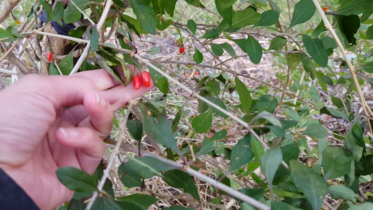 How To Grow Goji Berry Plants Youtube