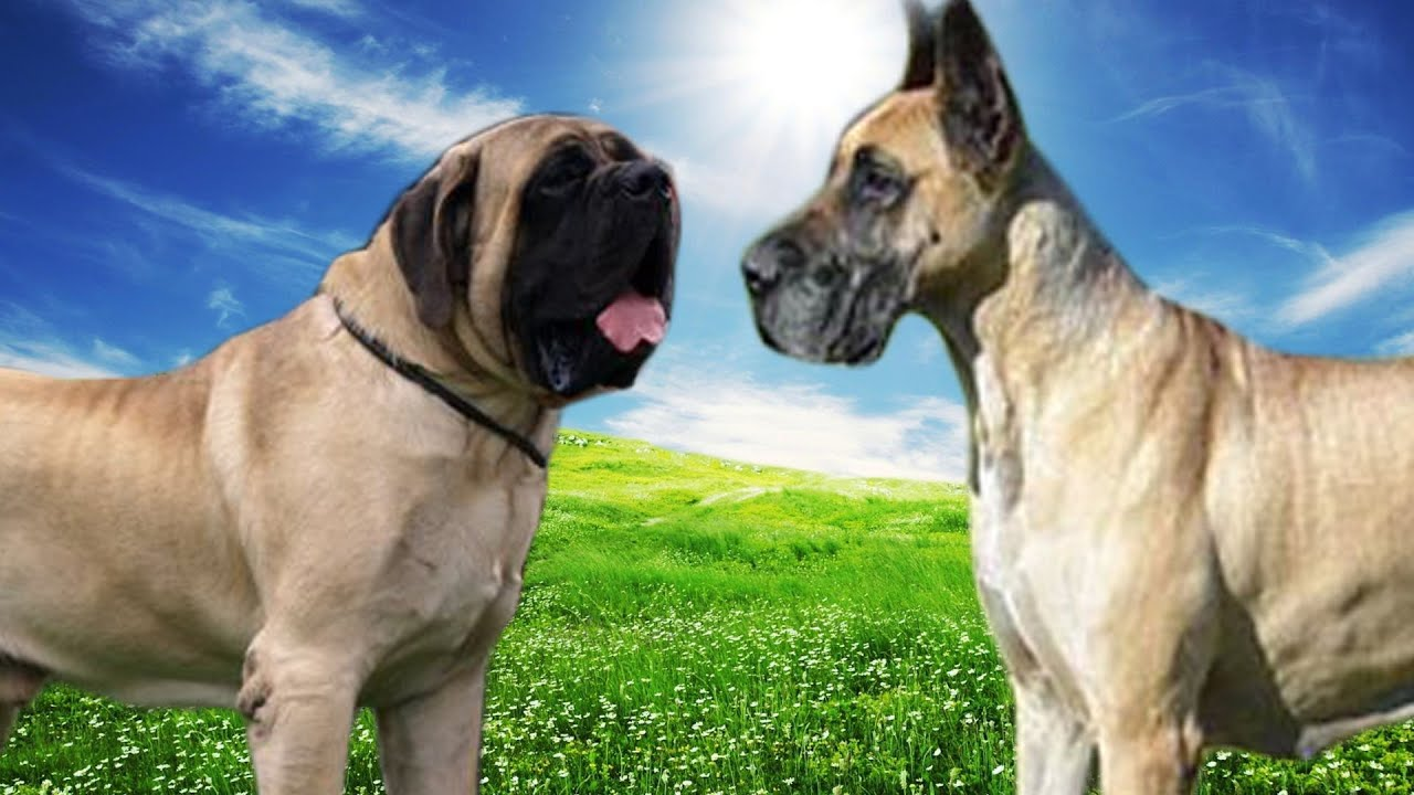 english mastiff vs great dane highlights youtube