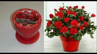 Розы в горшке дома.Распоковка