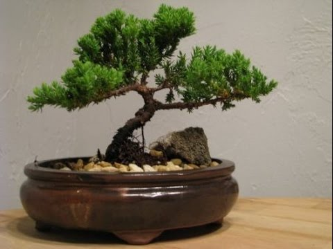 Slide Show Juniper Bonsai Tree - YouTube