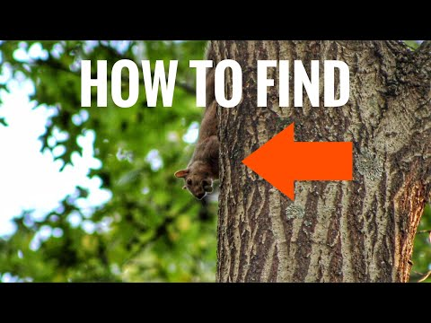 Squirrel Hunting Tips - How To Find Squirrels