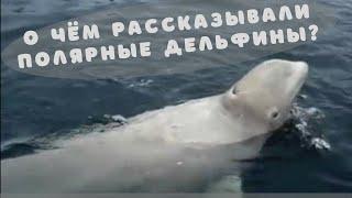 Как разговаривают киты - белухи?