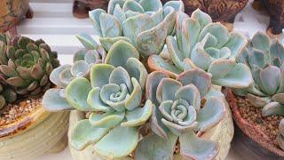 비가촉촉히 와용~국민저렴이#올펫#핑클루비#오리온분갈이 /korean succulents plants