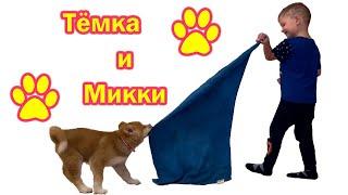 Тёмка и Микки играют с полотенцем.Акита-ину