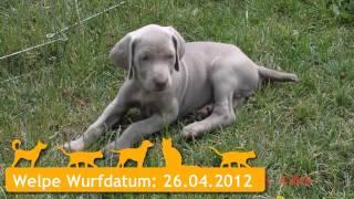 Weimaraner Welpen In Neuenstein (hohenlohe)