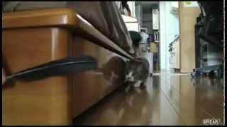 Stalking Cat secret Revealed - Oficial