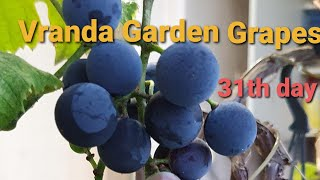 Veranda Garden & Grapes 31th d…
