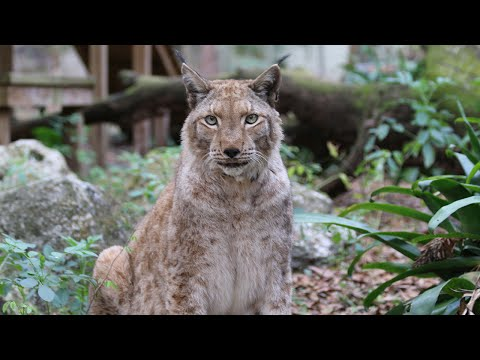 FAQ Friday: Is That A Lynx Or A Bobcat
