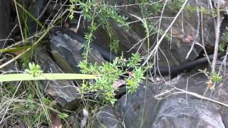 Блек Снейк, опасные змеи Австралии(, 2012-01-09T16:40:39.000Z)
