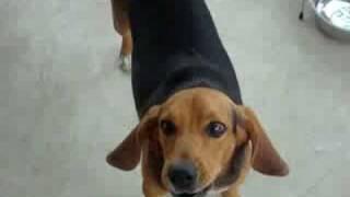 Perfect Beagle Howl