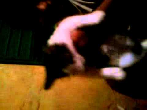 gato rechinable- videos chistosos.3gp