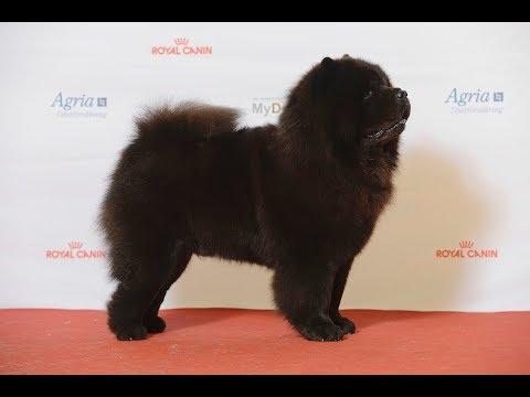 Chow Chow / Dog Breed