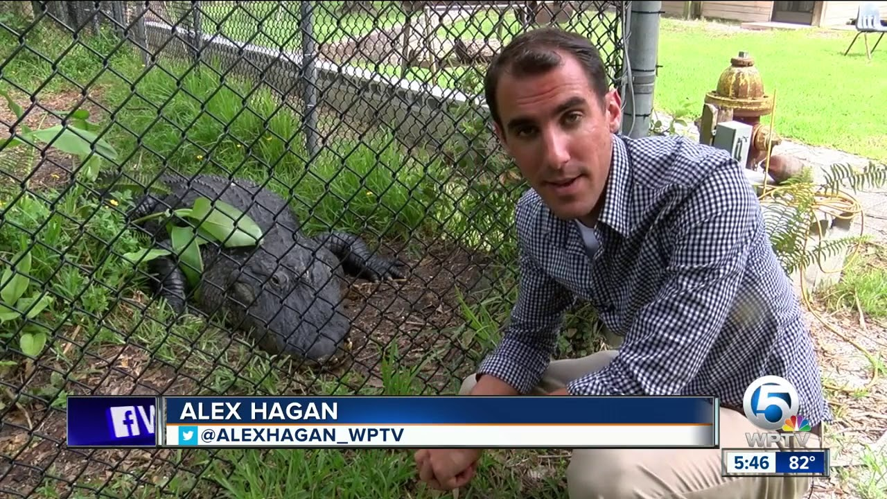 Experts Weigh In On Study Showing >> Study Shows Gators Eat Sharks Local Experts Weigh In Youtube