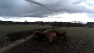 tri de bétail à cheval